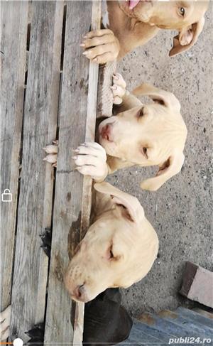 Căței.. Apbt.. cu pedigree - imagine 11