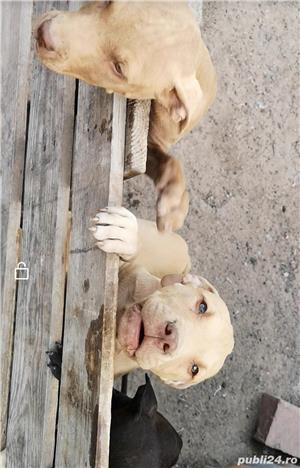 Căței.. Apbt.. cu pedigree - imagine 6