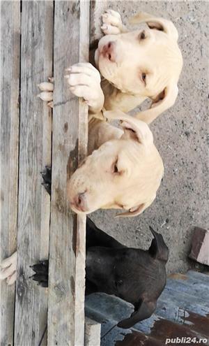 Căței.. Apbt.. cu pedigree - imagine 9