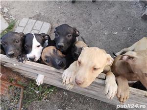 Căței.. Apbt.. cu pedigree - imagine 10