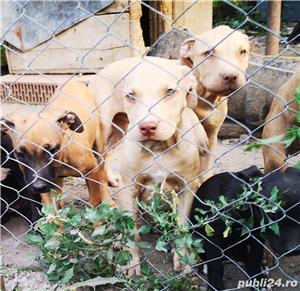 Căței.. Apbt.. cu pedigree - imagine 12