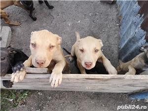 Căței.. Apbt.. cu pedigree - imagine 13