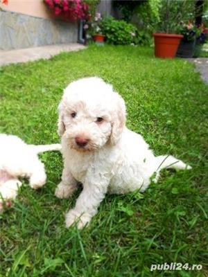 Căței Lagotto Romagnolo  - imagine 4