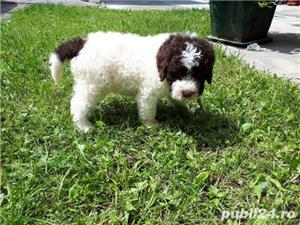 Căței Lagotto Romagnolo  - imagine 8