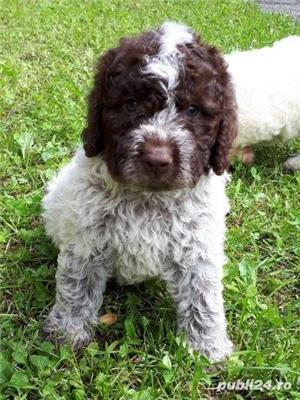 Căței Lagotto Romagnolo  - imagine 5