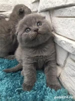 Scottish fold de rasa - imagine 1