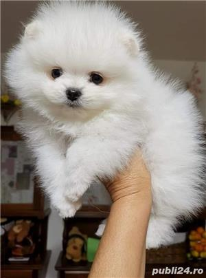 Pomeranian Alb poze reale  - imagine 1