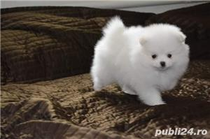 Pomeranian toy alb - imagine 2