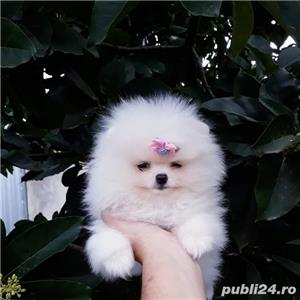 Pomeranian toy alb - imagine 1