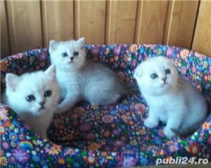 Feline british si scottish poze reale - imagine 8