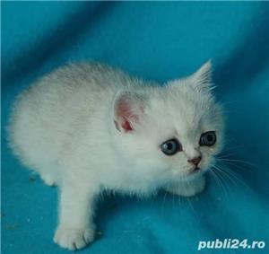 Feline british si scottish poze reale - imagine 5