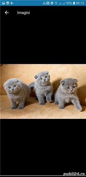 Scottish fold sau british de calitate - imagine 1