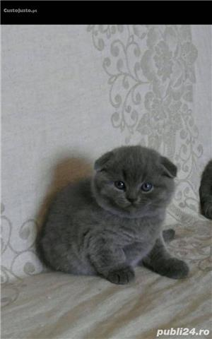 Scottish fold sau british de calitate - imagine 2