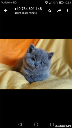 Scottish fold sau british de calitate - imagine 3
