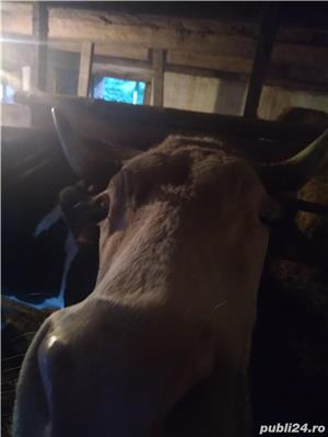 Vand vaca afata in 8 luni si jumatate - imagine 5