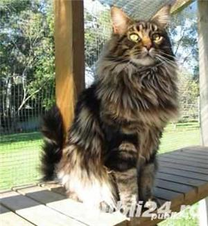 Pisicute maine coon - imagine 3