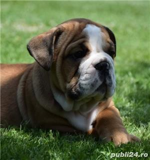Puiuti bulldog buldog englez exemplare foarte frumoase!!! - imagine 6