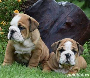 Bulldog buldog englez de 8saptamani - imagine 7