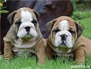 Bulldog buldog englez de 8saptamani - imagine 8