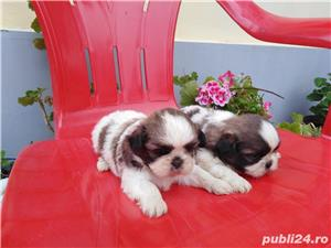 Shih tzu  - imagine 1