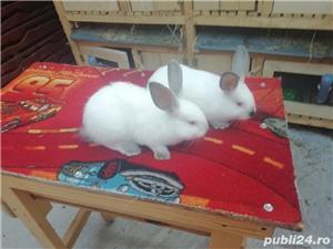 Vând iepuri California  - imagine 3