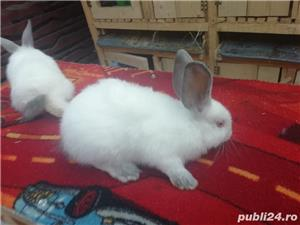Vând iepuri California  - imagine 7