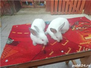 Vând iepuri California  - imagine 1