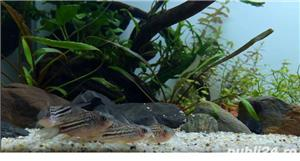 Corydoras nanus - imagine 1