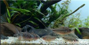 Corydoras nanus - imagine 3