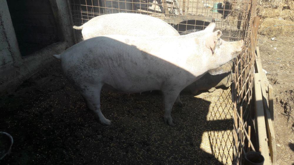 Vind porci - imagine 2