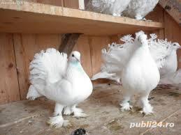 Vand porumbei voltati de diferite culori - imagine 12