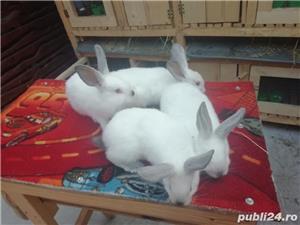 Vând iepuri California  - imagine 5