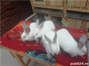 Vând iepuri California  - imagine 4