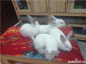 Vând iepuri California  - imagine 6