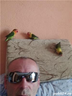 Vând papagali agapornis fischer Baia Mare  - imagine 6