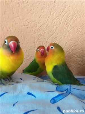 Vând papagali agapornis fischer Baia Mare  - imagine 9