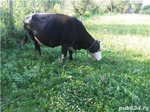 Vaca de vanzare - imagine 1