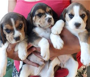 Pui Beagle tricolor rasa pura - imagine 3