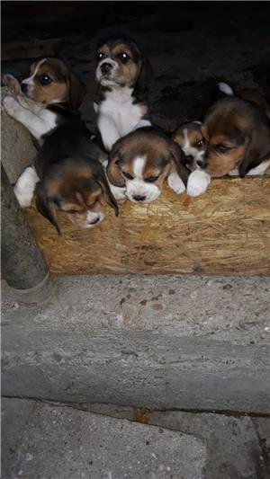 Pui Beagle tricolor rasa pura - imagine 4
