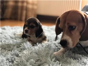 Pui Beagle tricolor rasa pura - imagine 1
