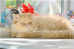 Pui persan Turtit Red Tabby !!! - imagine 2