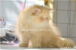 Pui persan Turtit Red Tabby !!! - imagine 3