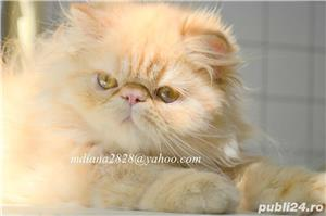 Pui persan Turtit Red Tabby !!! - imagine 1