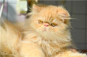Pui persan Turtit Red Tabby !!! - imagine 4