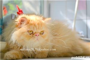 Pui persan Turtit Red Tabby !!! - imagine 5
