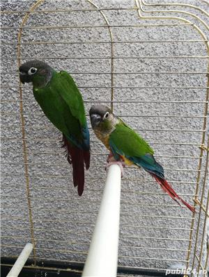 Vind papagali - imagine 2