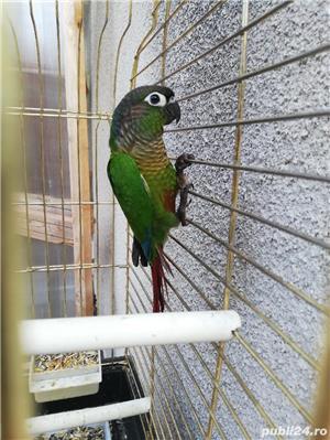 Vind papagali - imagine 3