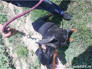 Rottweiler de vânzare  - imagine 1