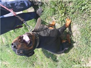 Rottweiler de vânzare  - imagine 4