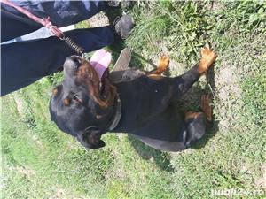 Rottweiler de vânzare  - imagine 3